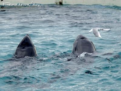 シャチとユリカモメ