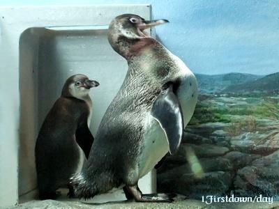 フンボルトペンギンのヒナ #1
