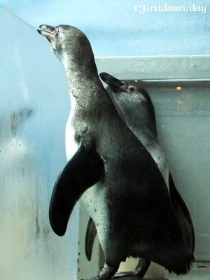フンボルトペンギンのヒナ #2
